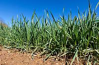 Winter wheat plants - Rutland; April