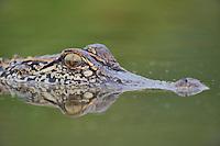 American Alligator (Alligator mississipiensis), adult, Refugio, Coastel Bend, Texas, USA