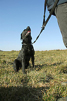 Male Labrador on lead, sitting.