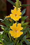 MIMULUS 'GEORGIE DARK YELLOW', MONKEYFLOWER