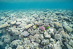 Great Barrier Reef, Australia; large aggregations of hard corals growing on the reef near the water's surface
