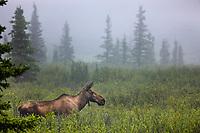 Cow moose travels the taiga of Denali National Park, Interior, Alaska.
