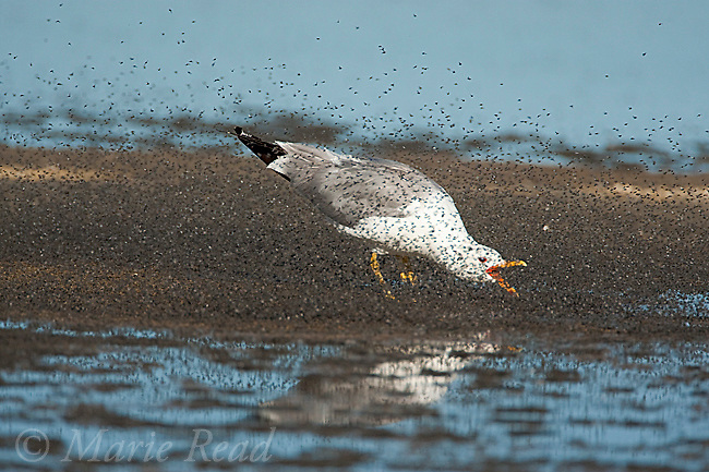 California Gull (Larus californicus) foraging by running through swarm of Alkali Flies (Ephydra hians) while snapping its bill, on the shore of Mono Lake, California, USA
