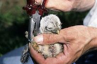 Steinkauz, Jungvogel, Küken sollen beringt werden, Stein-Kauz, Kauz, Käuzchen, Athene noctua, little owl, Ornithologie, Forschung, Vogelforschung