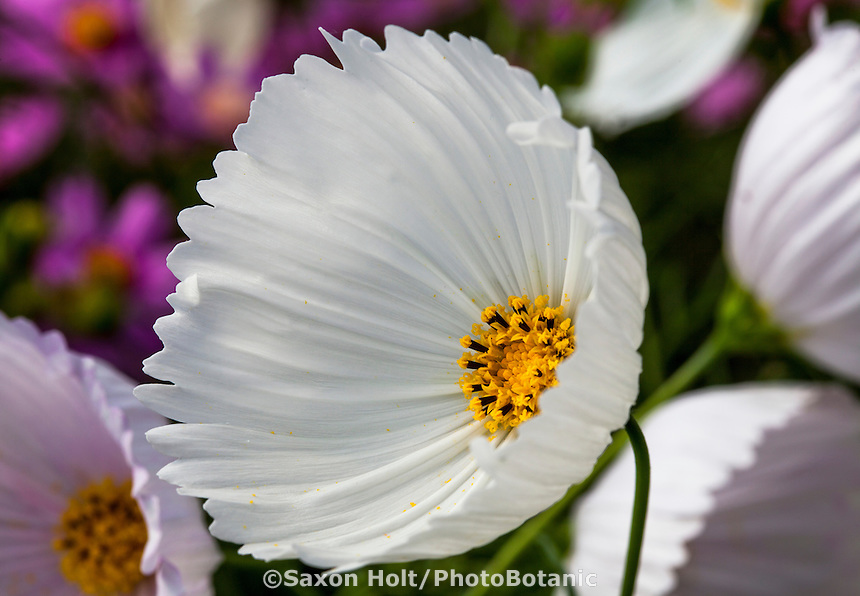 Cosmos bipinnatus - 'Cupcake White' - annual flower display at Thompson & Morgan, Speedling Nursery San Juan Bautista