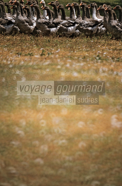 Europe/France/Aquitaine/24/Dordogne/Les bastides du Périgord/Env. de Le Boisson-de-Cadouin: Oies dans un champ