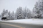 Moose on road, hoar frost covered trees,<br />