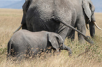 A baby African Elephant, Loxodonta africana, follows the herd in Serengeti National Park, Tanzania