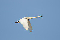 Adult Tundra Swan (Cygnus colmbianus) in flight. Montezuma NWR, New York. March.