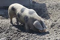 Bentheimer Schwein im Haustierpark Werdum - Werdum 24.07.2020: Haustierpark Werdum