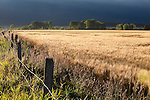 A wheat field in the Mission Valley in Montana near St. Ignatius