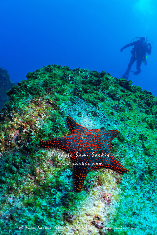 Panamic Cushion Star (Pentaceraster cumingi) on rock, Scuba diver in the background, underwater view, Ecuador, Galapagos Archipelago, Espanola Island