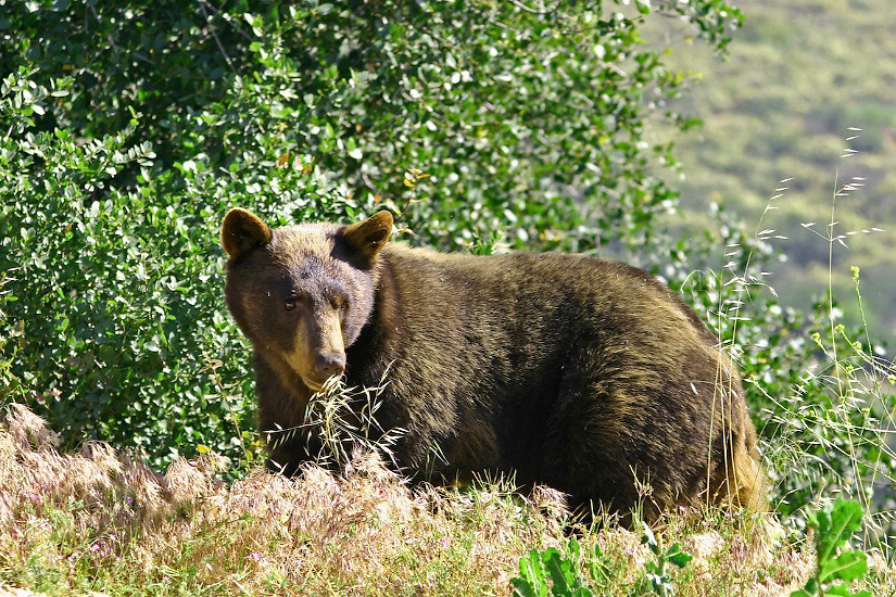 BLACK BEAR AND ACORNS