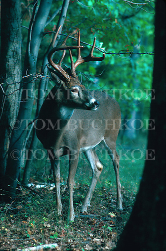 White-tailed deer, Odocoileus virginianus, in the Upper Peninsula of Michigan.