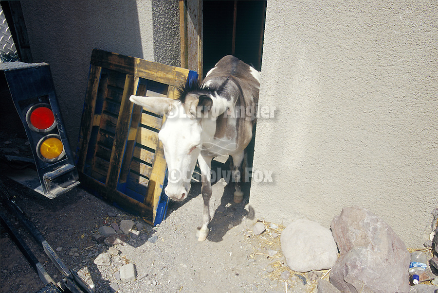 A jackass exits its house in Oatman, Ariz.
