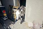 A jackass exits its house in Oatman, Ariz.