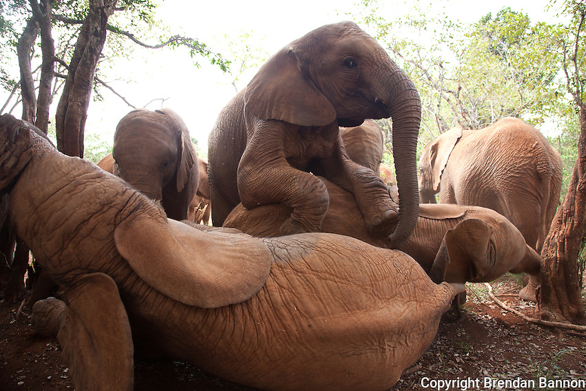 Orphaned baby elephants playing at the David Sheldrick Wildlife Trust in Nairobi National Park. The elephants range in age from  six months to three years. When one lies  down the others pile on playfully.