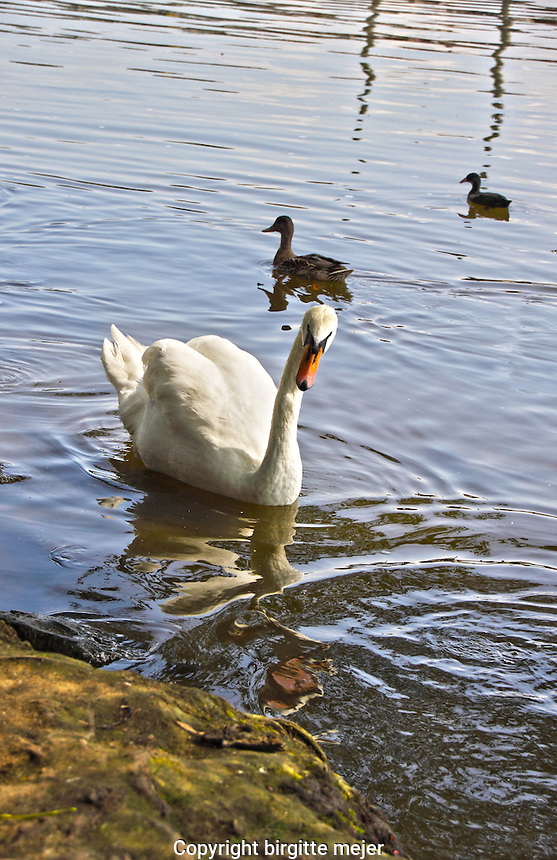 a Swan and 2 ducks swimming close to the river banks at Vltavska River (Moldau) in Prague, the Czech Republic.