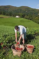 Europe/France/Aquitaine/64/Pyrénées-Atlantiques/Pays-Basque/Espelette: Pampi Olaizola récolte ses piments AOC Espelette bio  [Autorisation : A11001]