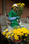 Inside a greenhouse a flower farm worker inspects bouquets of Chrysantemums before they are shipped around the world.  Colombia is one of the world's biggest exporters of cut flowers because of its year round spring like temperatures.
