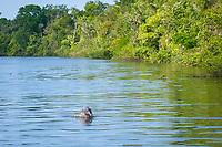 Amazon River Dolphin (Inia geoffrensis) or Boto, WILD, Jumping, Rio Negro, Amazonia, Brazil
