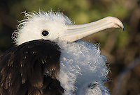 We had a chance to walk through a nesting colony of great frigatebirds.
