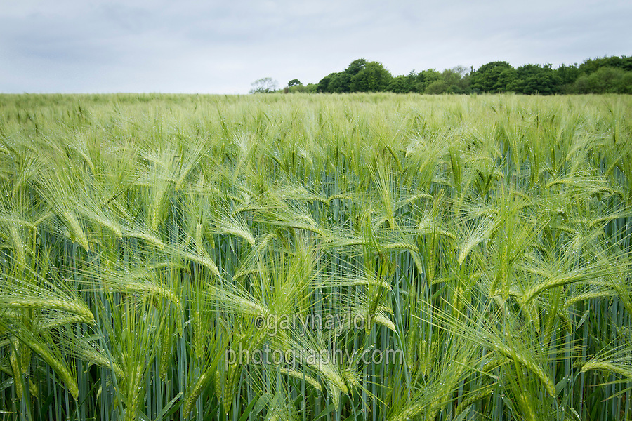 Six-Row barley in ear - June; Lincolnshire Wolds