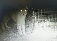 2017 11 03 Escaped lynx is seen by cage in Borth, Wales, UK