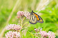 03536-06018 Monarch (Danaus plexippus) on Swamp Milkweed (Asclepias incarnata) Marion Co. IL