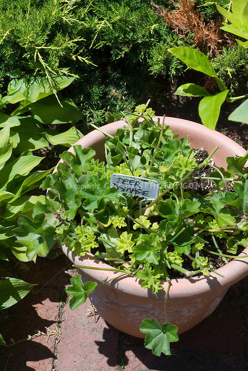 Deer damaged garden plants (Annual Geranium, Pelargonium) eaten in pot, with sign
