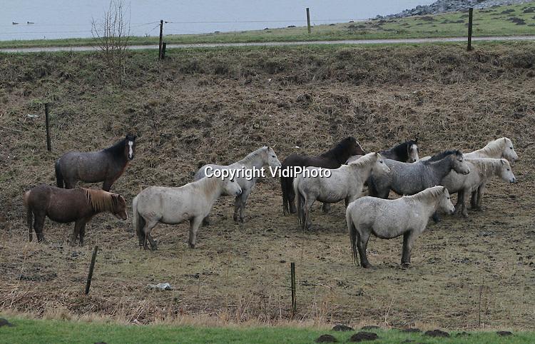 Foto: VidiPhoto..HETEREN - Er zijn van die dagen dat de neuzen automatisch dezelfde kant op gaan. Vrijdag is zo'n dag. Met een koude, harde wind en striemende regen draaien deze pony's in de uiterwaarden langs de Rijn bij Heteren zich met hun achterwerk richting de wind. Alleen voor een fotoshoot draaien ze even hun hoofd om.
