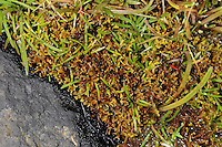 moss wrack<br /> Fucus cottonii