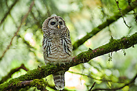 Barred Owlet, Seattle, Washington