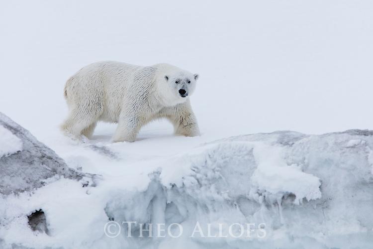 Norway, Svalbard, male polar bear walking along frozen fjord shore