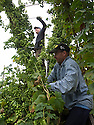05/09/14 <br /> <br /> Thanks to ideal growing conditions over the summer, Britain's hop harvest is set to be a bumper crop.<br /> <br /> Picking stopped early yesterday at Stocks Farm, Worcestershire, as the 'Heath Robinson' style 1962 Bruff hop picking machine was overwhelmed by the volume of hops coming in from the 100 acres of hops the farm grows.<br /> <br /> The golding hops are the first to picked this year from the bines that are strung up on a total of 550 miles of twine that stretch across the farmland near the Malvern Hills. &quot;That's enough to make 46m pints of craft ale&quot; said farmer and hop expert Ali Capper.<br /> <br /> The farm grows a variety of hops supplying national brewers including Fullers, Greene King, St Austell and Marston's, and hundreds of craft breweries and brewers in the UK and USA.<br /> <br /> &quot;We've had perfect growing conditions this year, a lovely warm summer and even rainfall. The whole crop is looking wonderful and the aromas are much better than last year,<br /> <br /> &quot;It should be a bumper crop - but we can't be sure until it's all in&quot;<br /> <br /> &quot;The demand from small brewers is rising each year&quot; added Ali<br /> <br /> &quot;This year we'll be selling 100 gram bags for home brewers too - that's enough to brew at least 20 pints. <br /> <br /> In 2013 almost half of all British hops were exported to to the USA - and this figure is still rising&quot; she said.<br /> All Rights Reserved - F Stop Press.  www.fstoppress.com. Tel: +44 (0)1335 300098