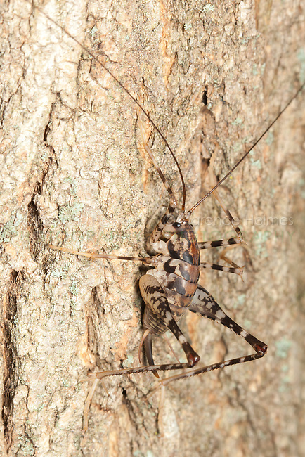 A female Greenhouse Camel Cricket (Diestrammena asynamora) perches on the side of a tree at night.