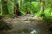Tree stumps and moss covered trees in the forest. Lyn canyon park North Vancouver, British Columbia, Canada.