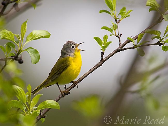 Nashville Warbler (vermivora ruficapilla), male singing in spring, New York, USA