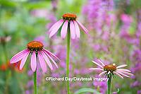 63821-22916 Purple Coneflowers (Echinacea purpurea) Marion Co., IL