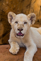 2 month old white lion cub, Lion Park, near Johannesburg, South Africa.
