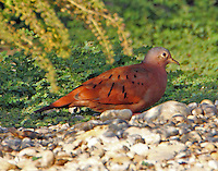 Eastern race adult male ruddy gound-dove. The ruddy ground-dove is a rare bird in Texas, reportedly observed only 21 times, usually along the Mexican border. This bird is perhaps the northmost observation of the eastern race. The bird was found in the Crescent Bend Nature Park at Schertz, TX on Sept 30, 2012 and this series of pictues was taken there on Oct. 10, 2012. The bird is hanging out with three inca doves and has been returning repeatedly to the same spot with the inca doves to feed or pick grit.