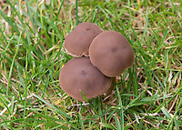 Toadstools in a grass field, Cheshire.