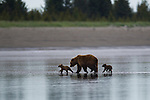 A brown bear sow and her two cubs make their way off the tidal flats as the tide starts to come in.  The family were on the beach that day digging for razor clams, in Lake Clark National Park, Alaska, USA.  Photo by Gus Curtis.