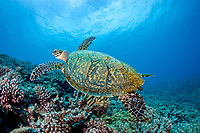 hawksbill turtle, Eretmochelys imbricata, Critically endangered (IUCN), dive site Coral Roses, Moorea Island, Society Archipelago, French Polynesia, Pacific Ocean