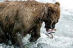 Brown bear catching salmon, Alaska