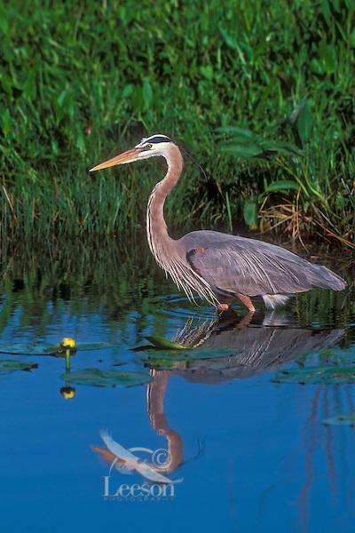 Great Blue Heron.(Ardea herodias). Everglades National Park, Florida.USA.