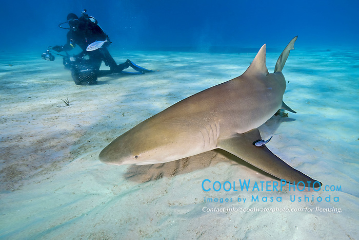 lemon shark, Negaprion brevirostris, and scuba diver, Grand Bahama, Bahamas, Caribbean Sea, Atlantic Ocean, model released