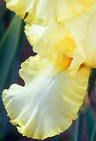 Iris Early Light, intermediate bearded iris yellow picotee edges and white flowers with orange-yellow beard perennial flower, macro closeup of fall