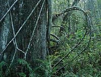 Cypress tree with strangler fig, Corkscrew Swamp Sanctuary, Florida, USA