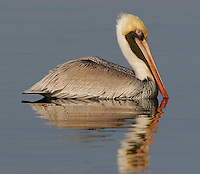 Adult, Atlantic-form, brown pelican in breeding plumage on water